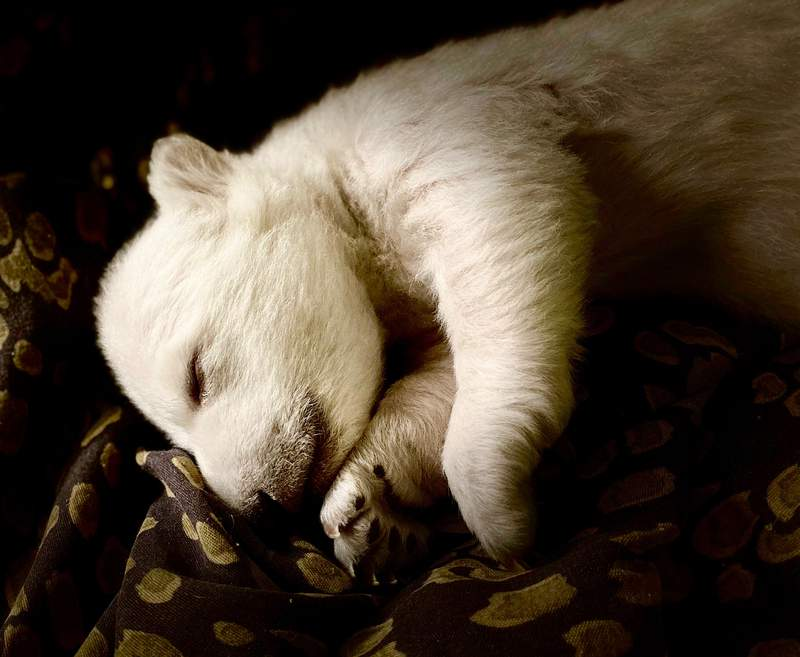 One of two polar bear cubs recently born at the Detroit Zoo. The zoo is welcoming its first two, successfully bred polar bear cubs since 2004. The cubs, unnamed as of Jan. 28, were born on Nov. 17, 2020 to 8-year-old mother Suka. Photo provided by the Detroit Zoological Society.