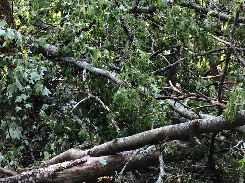 Tree damage from tornado in Roscommon County.