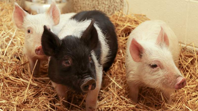 Three abandoned piglets were rescued from Detroit's Rouge Park. (Photo: MHS)