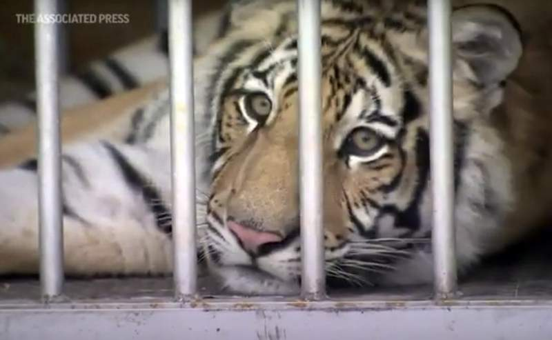 This frame grab from video provided by the Houston Police Department shows a tiger that was found after a nearly week-long search in Houston. (Courtesy of Houston Police Department via AP)