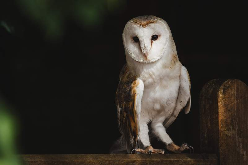 An owl perches on a wooden fence.