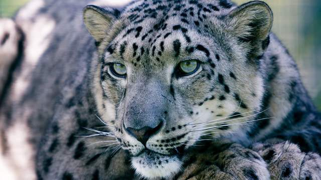 Snow leopards are usually found at elevations between 9,800 and 17,000 feet.