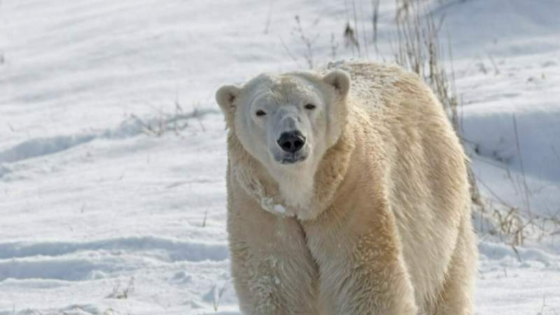 Detroit Zoo staff shocked after polar bear killed during mating