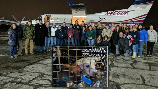 Chihuahuas from California flew to Michigan to find new homes. (Photos: MHS)