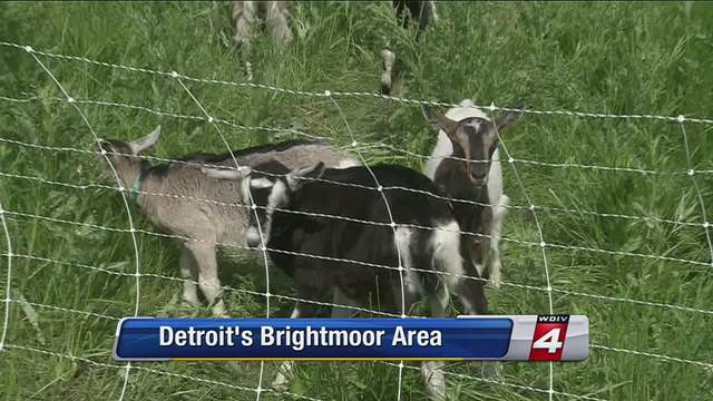 The idea of using goats to deal with the tall grass and overgrown weeds growing around the abandoned buildings in Detroit has been tossed around for a long time.