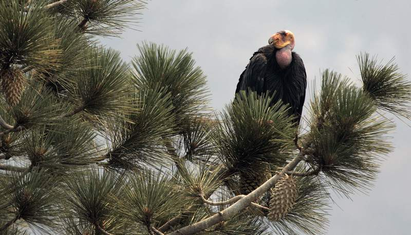 FILE - In this Thursday, July 10, 2008, file photo, a California condor is perched atop a pine tree in the Los Padres National Forest, east of Big Sur, Calif. A California wildfire that began Wednesday, Aug. 19, 2020, has destroyed a sanctuary for the endangered California condor in the Los Padres National Forest. (AP Photo/Marcio Jose Sanchez, File)