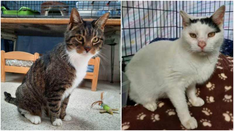 Tiger Sox (left) and Billy (right) -- two of the 33 cats rescued from a Monroe home.
