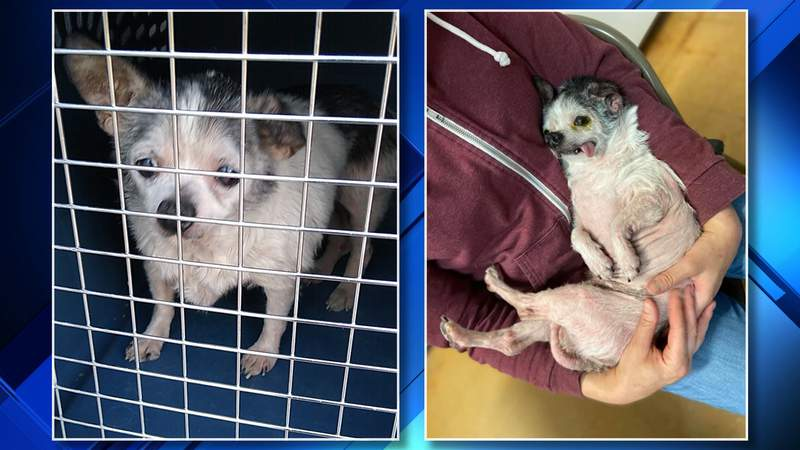 Antoinette was found June 12, 2020 in Dearborn with a bad infection, missing her teeth and infested with fleas.