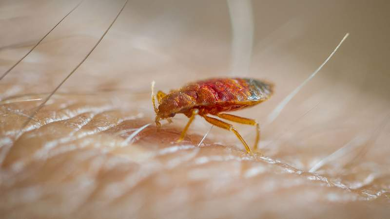 A bed bug. (Edwin Remsburg/VW Pics via Getty Images)
