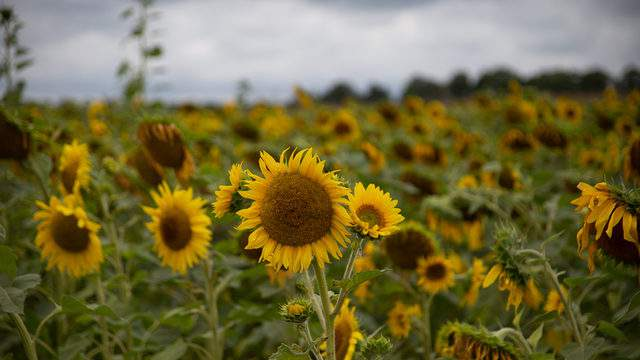 Hall Farms sunflower field in Rock, Mich. (Amber Ainsworth/WDIV)