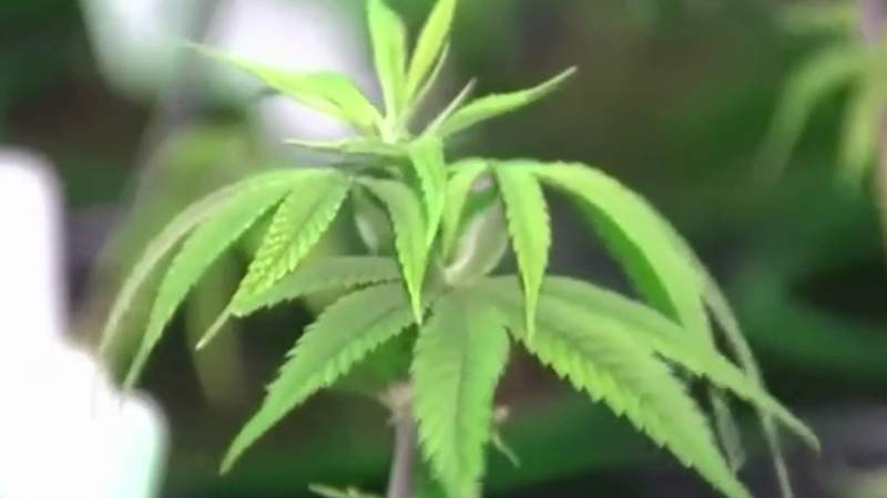 San Antonio state lawmakers looking to expand marijuana use in the state
