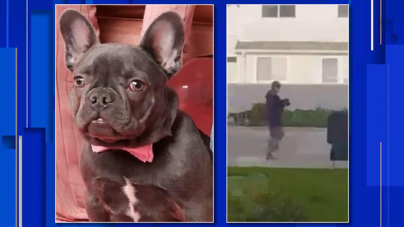 Police are looking for the man who took a French Bulldog from a home on May 13, 2021.