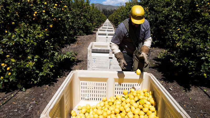 Agricultural laborers pick lemons inside the orchards of Samag Services, Inc, where they grow avocado, lemons and oranges.