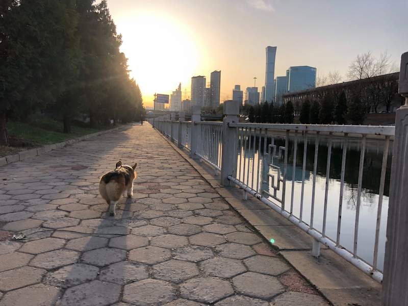 In this April 1, 2020, photo, Sam McNeils dog runs alongside the water during a walk on a spring morning in Beijing. (AP Photo/Sam McNeil)