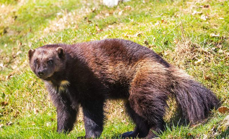 A wolverine in a field (Wikipedia Commons)