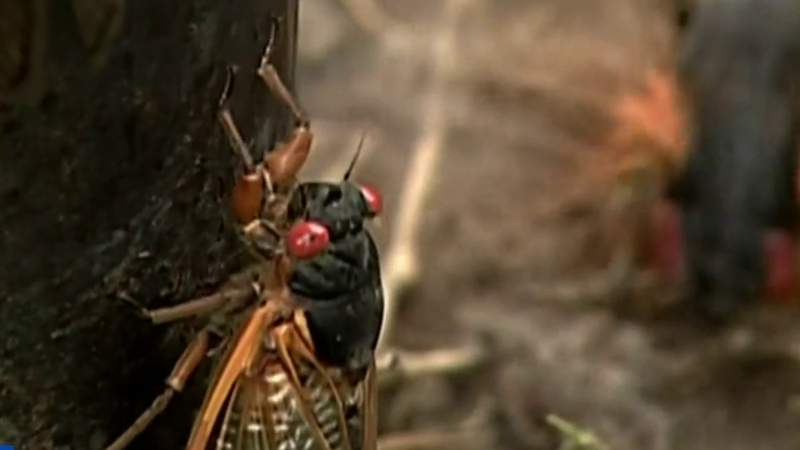 FDA: Don't eat cicadas if you're allergic to seafood