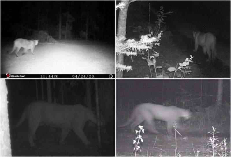2020 cougar sightings in Michigan.