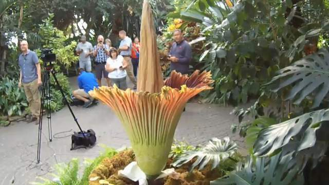 Watch Live Rare Corpse Flower Blooming At Michigan S Meijer Gardens