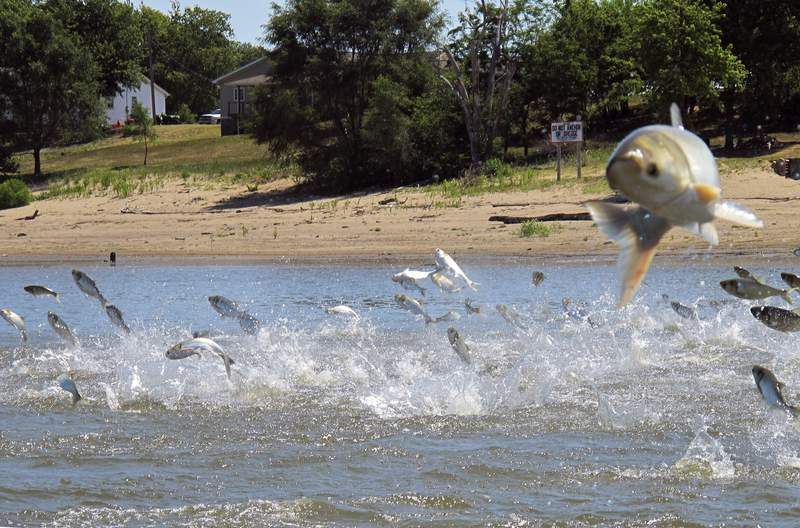 FILE - In this June 13, 2012, file photo, Asian carp, jolted by an electric current from a research boat, jump from the Illinois River near Havana, Ill. Illinois, Michigan and a federal agency have agreed on funding the next phase of an initiative to keep Asian carp out of the Great Lakes by upgrading defenses on a Chicago-area waterway, officials said Thursday, Jan. 7, 2021. (AP Photo/John Flesher, File)