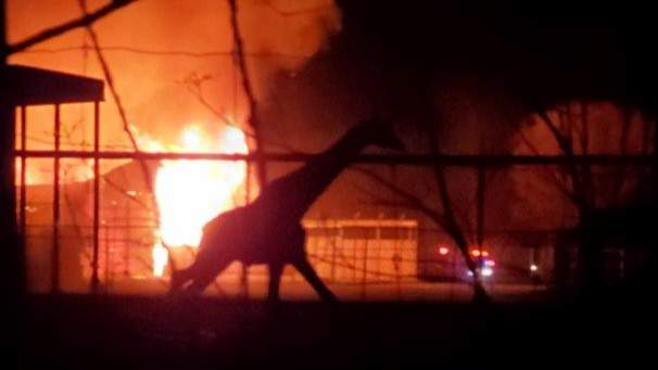 Animals died in a barn fire on Nov. 28, 2019 at the African Safari Wildlife Park in Ohio. (Photo: Aaron DiBucci)