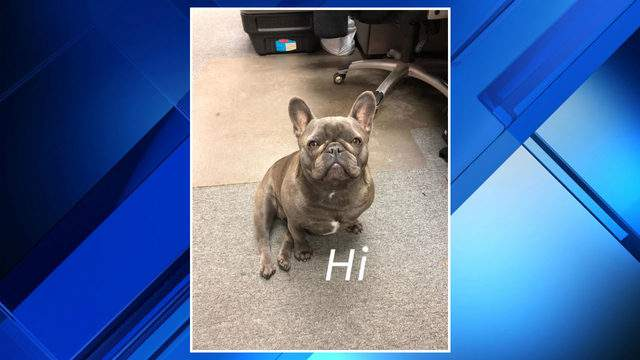 Roxy, a dog stolen in Shelby Township. (Magic Racing)
