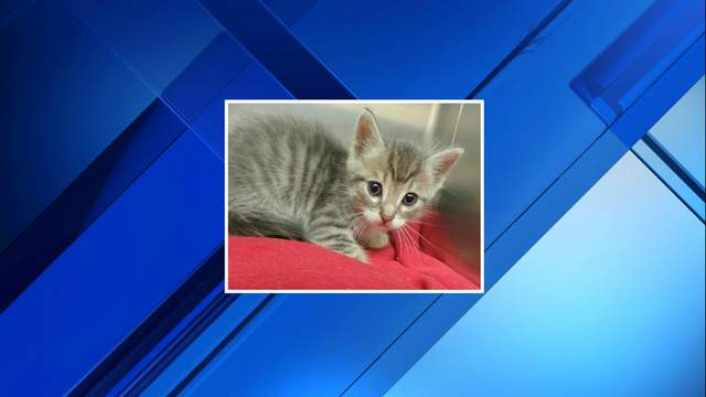 A kitten that fell down a sewer after being thrown from a car was rescued and is doing well.
