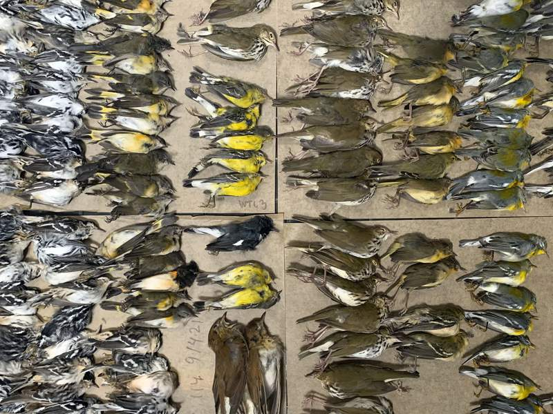 This photo provided by Melissa Breyer shows some of the dead birds collected in the vicinity of New York's World Trade Center, Tuesday, Sept. 14, 2021. Hundreds of birds migrating through New York City this week died after crashing into the city's glass towers, a mass casualty event spotlighted by a New York City Audubon volunteer's tweets showing the World Trade Center littered with bird carcasses. (Melissa Breyer via AP)