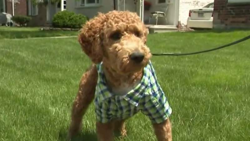 Woman, Goldendoodle puppy attacked by 3 dogs on Detroit's east side