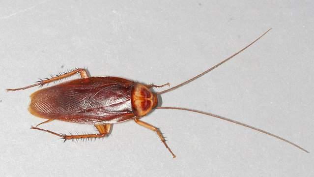 American Cockroach (Gary Alpert at the English language Wikipedia)