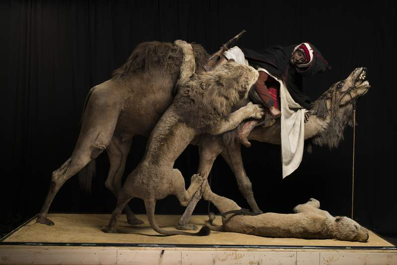 """This undated photo provided by Carnegie Museum of Natural History shows the the 19th century """"Lion Attacking a Dromedary"""" display at the Carnegie Museum of Natural History in Pittsburgh. The museum has covered up the popular diorama, the Pittsburgh Tribune-Review reported Thursday, Sept. 17, 2020. The diorama, which has been at the museum since 1899, has been put out of public view while officials at the Carnegie Museum of Natural History consider ethical and appropriateness issues. (Joshua Franzos/Carnegie Museum of Natural History via AP)"""