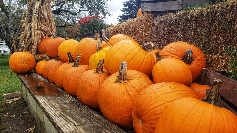 A pumpkin display at Wiard's Orchards.