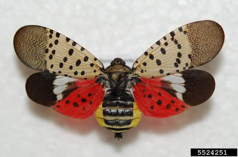 Adult spotted lanterfly's bright wing coloration is hidden when wings are closed. Photo courtesy of Robert Gardner, Bugwood.org.