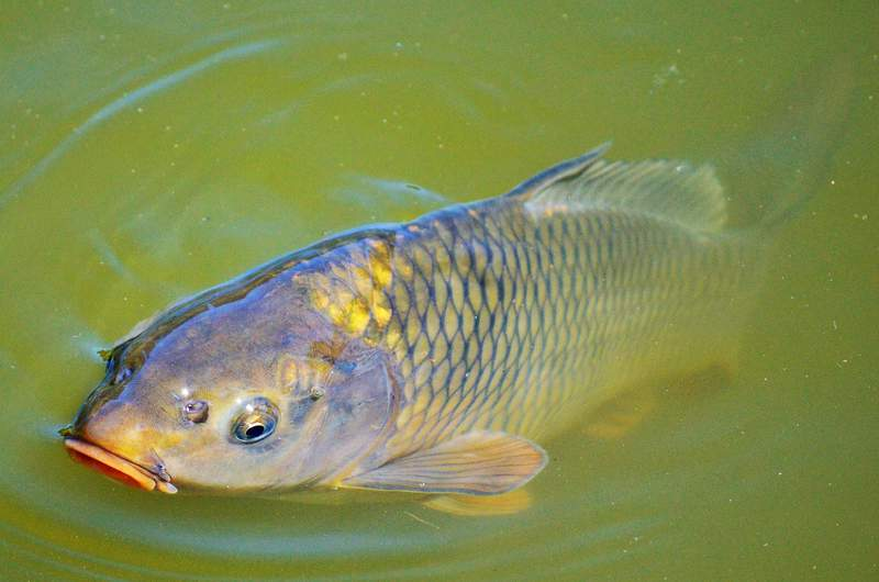 Stock image of a carp fish.