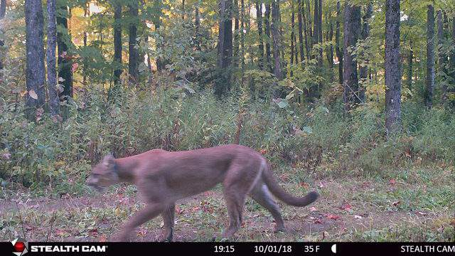 A Michigan DNR game camera captured images of a cougar on Oct. 1, 2018 near Ironwood in the state's Upper Peninsula. (WDIV)