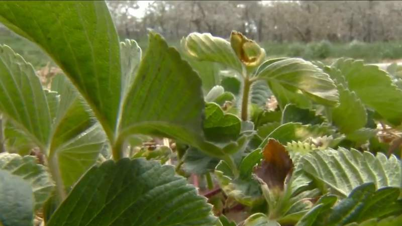 Uncommon May temperatures could affect Michigan farms, crops