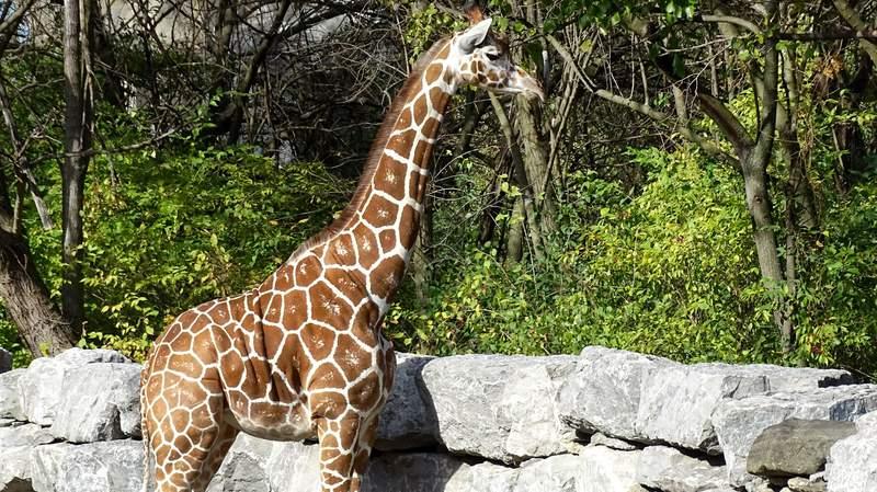 The Detroit Zoo is welcoming a 2-year-old female giraffe named Zara to the herd.