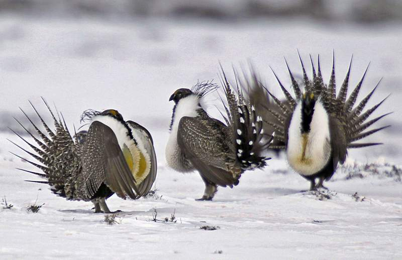 FILE - In this April 20, 2013 file photo, male greater sage grouse perform mating rituals for a female grouse, not pictured, on a lake outside Walden, Colo. The Trump administration has completed a review of plans to ease protections for a struggling bird species in seven western states, but there's little time to put the relaxed rules for industry into action before President-elect Joe Biden takes office. The ground-dwelling, chicken-sized greater sage grouse has been at the center of a long-running dispute over how much of the region's expansive public lands should be developed. (AP Photo/David Zalubowski, File)