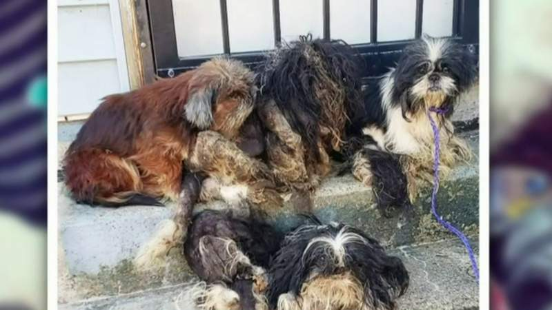 12 Shih Tzus rescued after being found abandoned in Detroit neighborhood