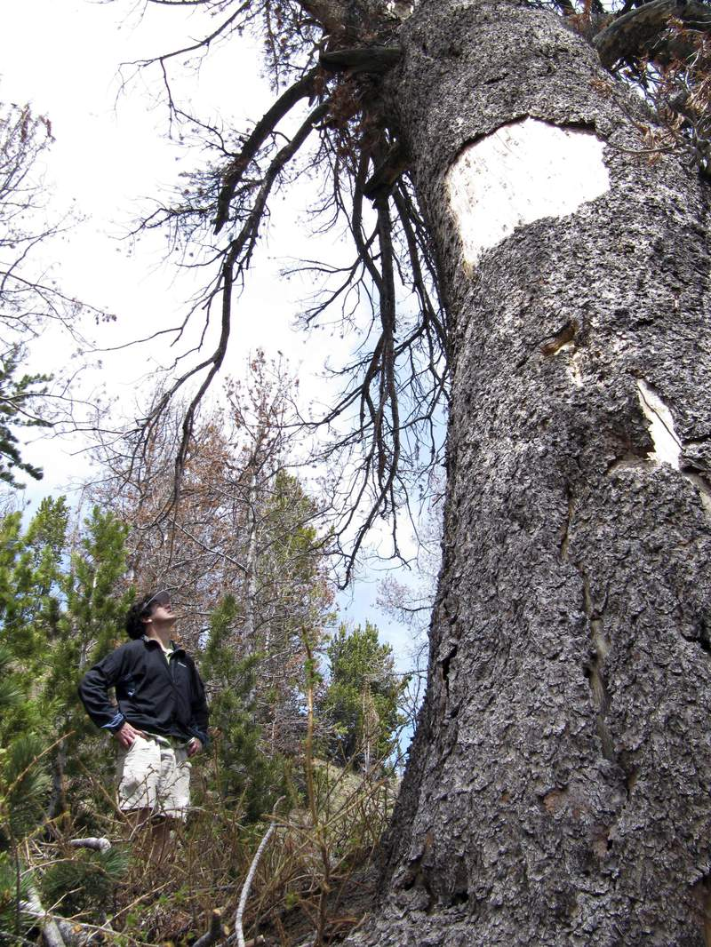 FILE - In this June 23, 2010 file photo environmentalist David Gonzales, of Jackson, Wyo., looks up at a dead whitebark pine tree in the mountains east of Jackson Hole, Wyo. Mountain pine beetles killed the roughly 800-year-old tree. U.S. officials say climate change, beetles and a deadly fungus are imperiling the long-term survival of the high-elevation tree found in the western U.S. (AP Photo/Mead Gruver, File)