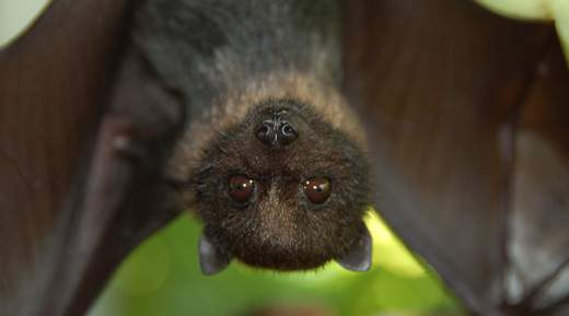 Mariana fruit bats, also known as flying foxes or fanihi, are medium-sized bats with dark fur.