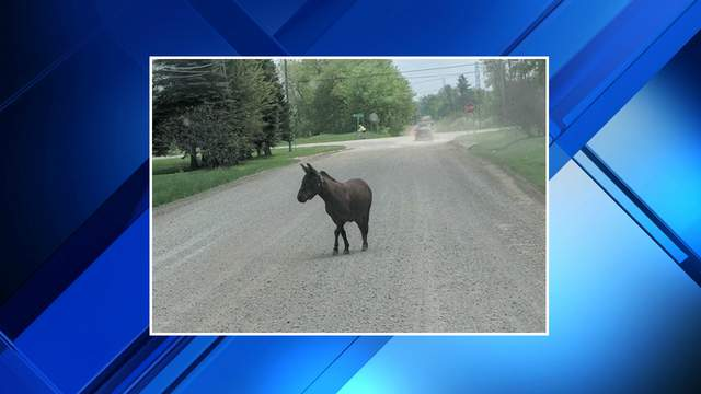 A donkey was loose May 16, 2018 in Plymouth Township. (Photo: Leigh-Anne Risher Valdes)