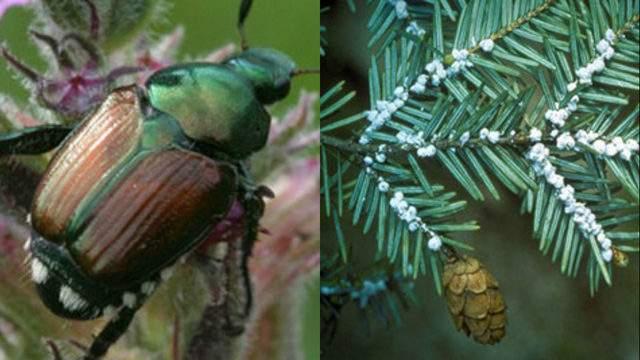 Japaneese Beetle and Hemlock Woolly Adelgid (Michigan DNR)