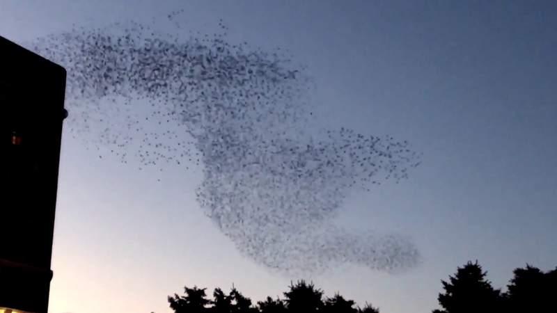 Murmuration of starlings in Downtown Detroit