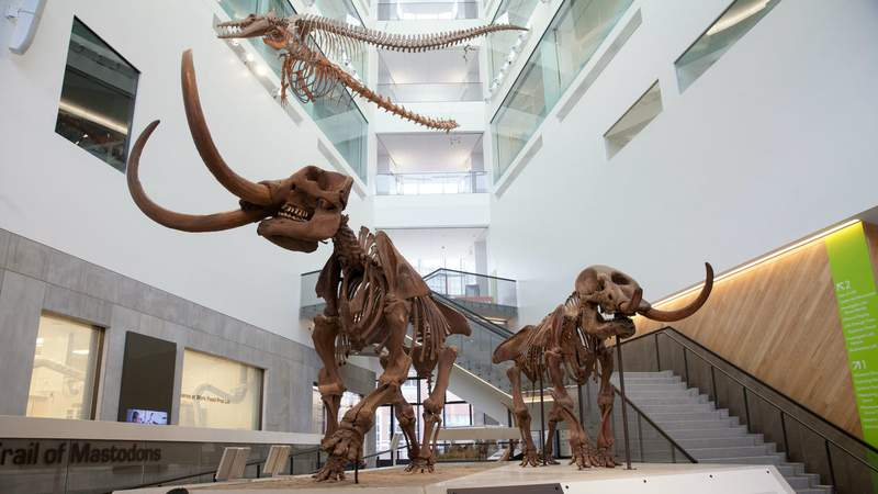 The U-M Museum of Natural History is the only place in the world where visitors can find a mastodon couple exhibited together. (Photo by Michelle Andonian)