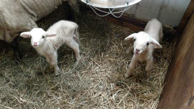 Two lambs were born at Greenfield Village in April 2020.