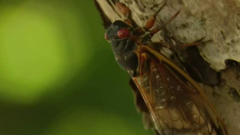 'Glad they only come once every 17 years': Cicadas emerge in Ann Arbor