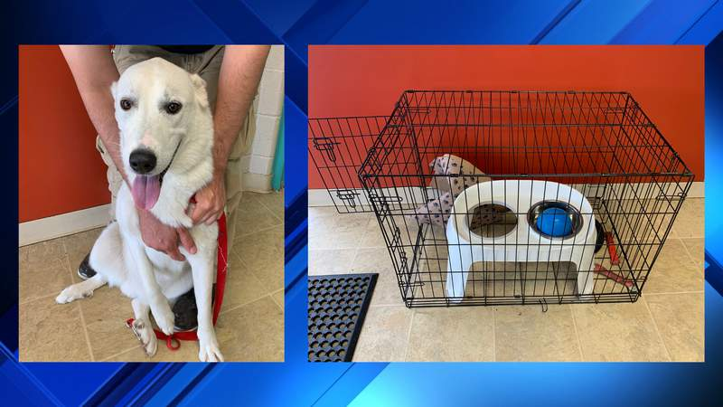 An abandoned dog was found on the side of the road crammed into a small cage on Wednesday, officials say. The Friends for Animals of Metro Detroit animal shelter is offering a $500 award for information that will lead to an arrest of the person who abandoned the dog.