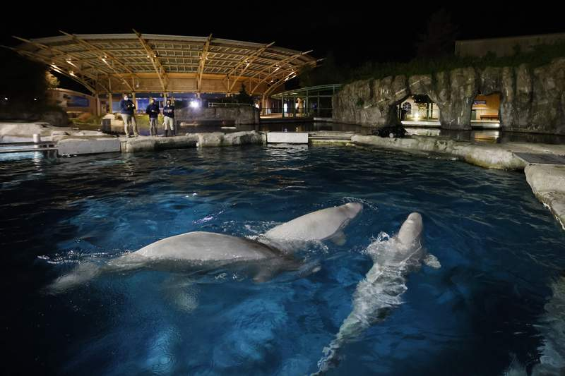 Three beluga whales swim together in an acclimation pool after arriving at Mystic Aquarium, Friday, May 14, 2021 in Mystic, Conn. The whales were among five imported to Mystic Aquarium from Canada for research on the endangered mammals. The aquarium is announcing that it will be auctioning off the names of three of the new belugas to raise money for their care. (Jason DeCrow/AP Images for Mystic Aquarium)