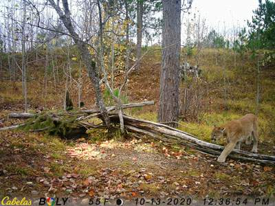 On October 13, 2020, a trail camera photo was captured of a cougar in western Mackinac County. This is about 10 miles from where August 30 photos were captured in Luce County. (DNR)
