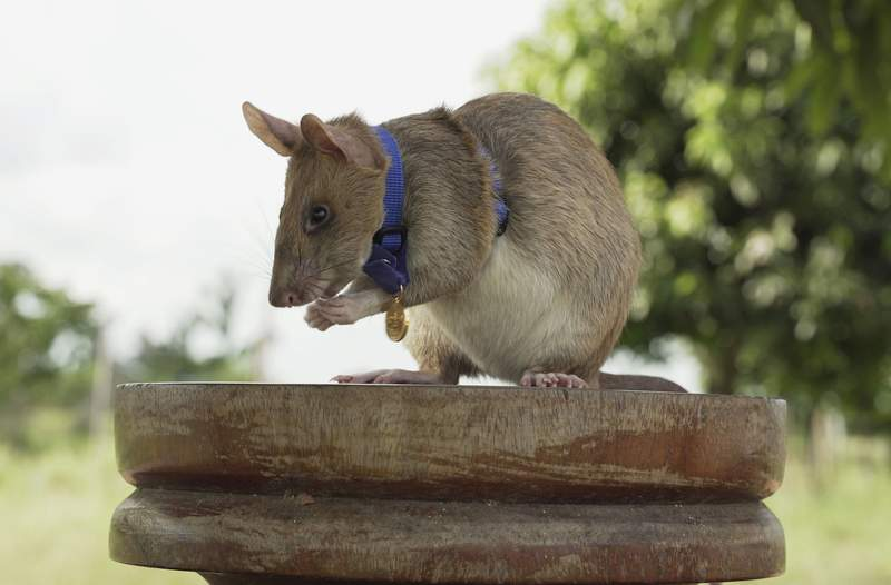 This undated file photo provided by the People's Dispensary for Sick Animals (PDSA) shows Cambodian landmine detection rat, Magawa, wearing his PDSA Gold Medal, the animal equivalent of the George Cross, in Siem, Cambodia. After five years of sniffing out land mines and unexploded ordnance in Cambodia, Magawa is retiring. The African giant pouched rat has been the most successful rodent trained and overseen by a Belgian nonprofit, APOPO, to find land mines and alert its human handlers so the explosives can be safely removed. (PDSA via AP, File)